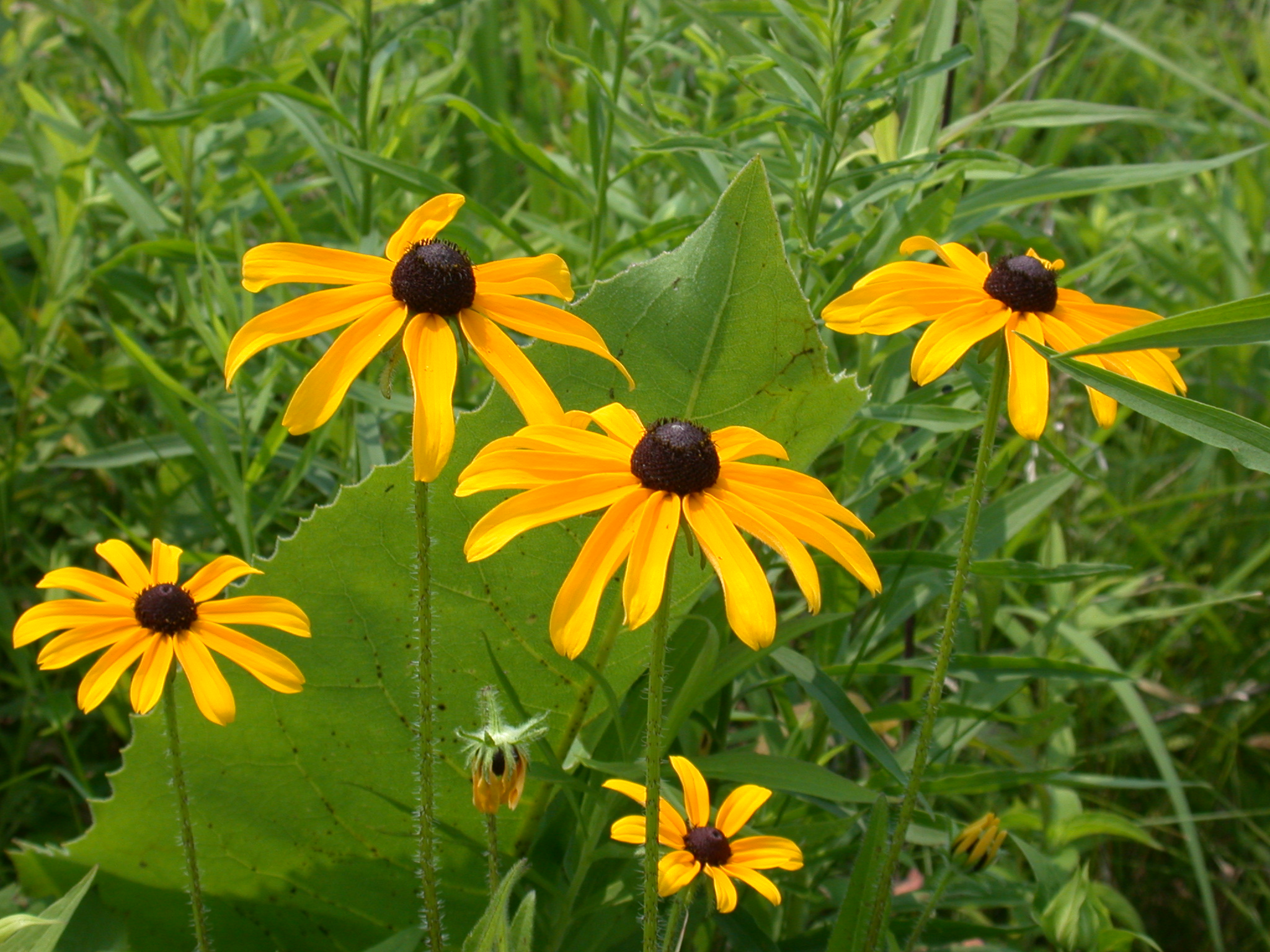 August blooms the ohio state university at marion black eyed susan izmirmasajfo Gallery